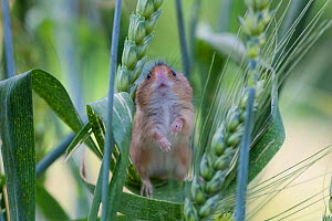 Pygmy / Ural Field Mouse (Apodemus uralensis) on ear of barley. Black Forest, Germany, July. - Klaus Echle