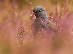 Stock Dove (Columba oenas) in Heather. Black Forest, Germany, September.  -  Klaus Echle
