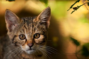 Portrait of a Wildcat (Felis silvestris) kitten. Rhine Valley near Frieburg, Germany, August. - Klaus Echle