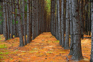 Rows of pine trees in Pine forest plantation along Highway 203, Applin County, Georgia, USA, November 2008  -  Kirkendall-Spring