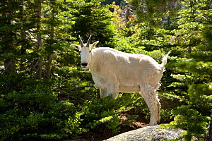Mountain goat (Oreamnos americanus) in forest, Colchuck Lake in the Alpine Lakes Wilderness, Washington, USA, July  -  Kirkendall-Spring