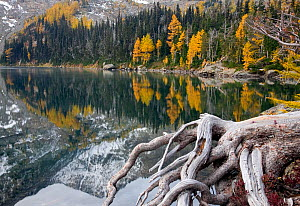 Larch trees in autumn colour at Larch Lake in the Chiwaukum Mountain Range of the Alpine Lakes Wilderness, Washington, USA, October 2009 - Kirkendall-Spring