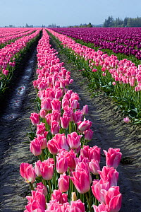 Commercial Tulip field (Tulipa sp) in the Skagit Valley, Washington, USA, April 2010 - Kirkendall-Spring