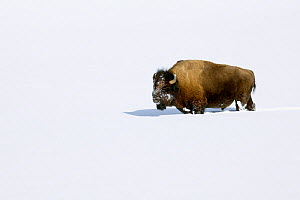 American buffalo / Bison (Bison bison) in deep snow, Lamar Valley, Yellowstone National Park, Wyoming, USA, January  -  Kirkendall-Spring