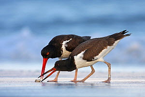 Young American oystercatcher (Haematopus palliatus) snatching food from adult on the shoreline. Long Island, New York, USA, July 2010. Winner, Young Wildlife Photographer, 2011 Wildlife Photographer o...  -  Mateusz Piesiak