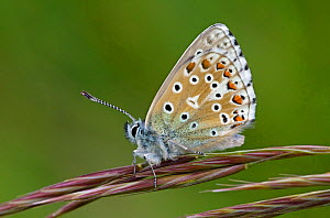 Adonis Blue (Polyommatus bellargus) male. Wiltshire, UK, May. - David Kjaer