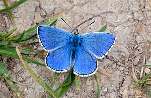 Adonis Blue (Polyommatus bellargus) male at rest on ground. Wiltshire, UK, May. - David Kjaer