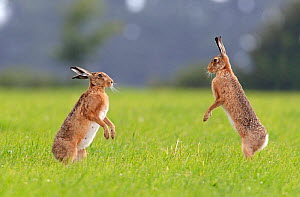 Brown Hare (Lepus europaeus) facing each other, standing on hind legs. Wiltshire, UK, June. - David Kjaer