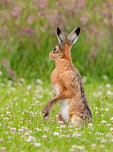 Brown Hare (Lepus europaeus) standing on hind legs. Wiltshire, England, June. - David Kjaer