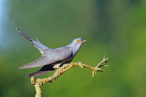 Cuckoo (Cuculus canorus) perched in tree. Buckinghamshire, UK, June.  -  David Kjaer