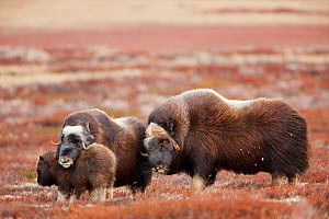 Muskoxen (Ovibos moschatus) mother protecting young,  approached by male,  Dovrefjell national park,  Norway, September - Radomir Jakubowski