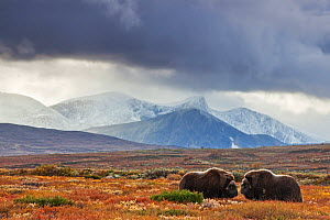 Two Muskox (Ovibos moschatus) in landscape,  Dovrefjell national park,  Norway, September  -  Radomir Jakubowski