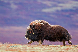 Muskox (Ovibos moschatus) running in landscape,  Dovrefjell national park,  Norway, September - Radomir Jakubowski