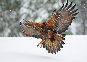 Golden Eagle (Aquila chrysaetos) flying low over snow with talons brandished. Kuusamo, Finland, February. - Markus Varesvuo