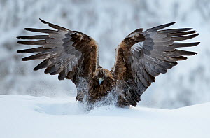 Golden Eagle (Aquila chrysaetos) landing in snow. Kuusamo, Finland, February. - Markus Varesvuo