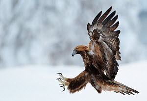 Golden Eagle (Aquila chrysaetos) pouncing in flight with claws brandished. Kuusamo, Finland, February.  -  Markus Varesvuo