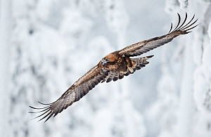 Golden Eagle (Aquila chrysaetos) in flight with curled primary feathers against a snowy background. Kuusamo, Finland, February.  -  Markus Varesvuo