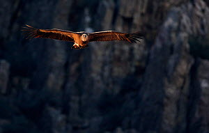 Griffon Vulture (Gyps fulvus) in flight, side-lit by afternoon sun. Spain, December. - Markus Varesvuo