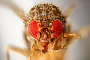 Wild Common fruit fly (Drosophila melanogaster)Vienna Drosophila RNAi Center, Institute of Molecular Pathology, Austria [focus staking]  -  Solvin Zankl