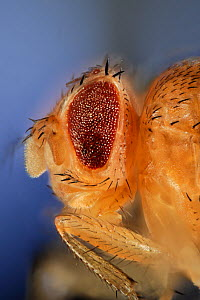 Common fruit fly (Drosophila melanogaster) showing Stubble mutation (hairs are shorter and thicker than wild type) and If mutation (irregular facets, a dominant mutation that results in small eyes wit...  -  Solvin Zankl