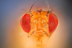 Wild Common fruit fly (Drosophila melanogaster) Vienna Drosophila RNAi Center, Institute for Molecular Pathology, Austria  [focus stacking]  -  Solvin Zankl