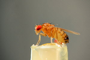 Wild type Common fruit fly (Drosophila melanogaster) from laboratory culture, Vienna Drosophila RNAi Center, Institute for Molecular Pathology, Austria  -  Solvin Zankl
