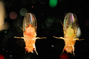 Wild type Common fruit flies (Drosophila melanogaster) from laboratory culture, the flies were fed with green and red food for staining purposes,  Vienna Drosophila RNAi Center, Institute for Molecula...  -  Solvin Zankl