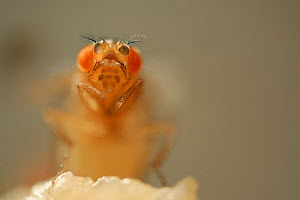 Common fruit fly (Drosophila melanogaster) showing the Orange mutation (eyes have fewer red pigments than normal) the mutation is used as a genetic marker. Vienna Drosophila RNAi Center, Institute for...  -  Solvin Zankl