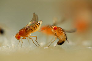 Mating behaviour in Common fruit flies (Drosophila melanogaster) studied in laboratory for gene research, a Curly (wings turn up) and Orange (less red pigment in the eyes) mutant female rejects the ma...  -  Solvin Zankl