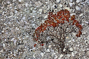 Alpine / Trailing Azalea (Kalmia procumbens) growing on a scree slope. Rondane National Park, Norway, September. Winner, Fritz Polking Junior Award portfolio, GDT 2011 Competition.  -  Radomir Jakubowski