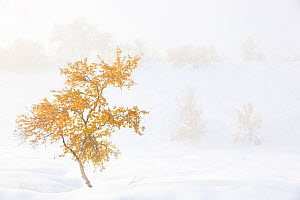 Tree standing in snowy and misty landscape. Rondane National Park, Norway, September 2010. Winner, Fritz Polking Junior Award portfolio, GDT 2011 Competition.  -  Radomir Jakubowski