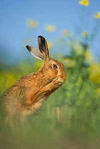 European brown hare (Lepus europaeus) adult grooming beside field of rapeseed, Hope Farm RSPB reserve, Cambridgeshire, UK, May  -  Andrew Parkinson / 2020VISION