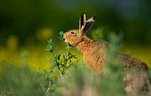 European brown hare (Lepus europaeus) adult feeding on fringes of rapeseed field, Hope Farm RSPB reserve, Cambridgeshire, UK, May - Andrew Parkinson / 2020VISION
