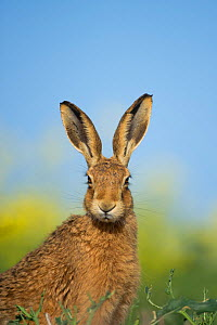 European brown hare (Lepus europaeus) adult portrait near field of rapeseed, Hope Farm RSPB reserve, Cambridgeshire, UK, May - Andrew Parkinson / 2020VISION