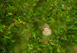 Whitethroat (Sylvia communis) adult perched in Blackthorn hedgerow with insect prey for young, Hope Farm RSPB reserve, Cambridgeshire, UK, May  -  Andrew Parkinson / 2020VISION