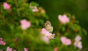 Whitethroat (Sylvia communis) adult perched with insect prey on hedgerow amongst Dog rose (Rosa canina) flowers, Hope Farm RSPB reserve, Cambridgeshire, UK, May  -  Andrew Parkinson / 2020VISION