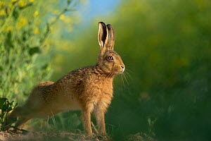European brown hare (Lepus europaeus) adult stretching on fringes of a field of rapeseed. Hope Farm RSPB reserve, Cambridgeshire, UK, May, sequence 4/4. Did you know? Brown hares are not native to Bri... - Andrew Parkinson / 2020VISION