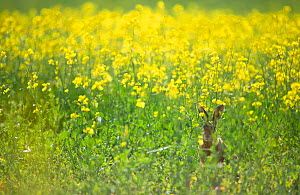European brown hare (Lepus europaeus) adult sitting on the fringes of a field of flowering rapeseed. Hope Farm RSPB reserve, Cambridgeshire, UK, May 2011 - Andrew Parkinson / 2020VISION