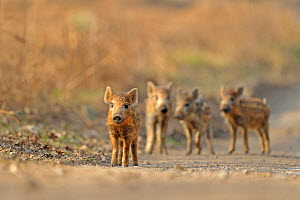 Wild boar (Sus scrofa) piglets, Forest of Dean, Gloucestershire, UK, March  -  Andy Rouse / 2020VISION