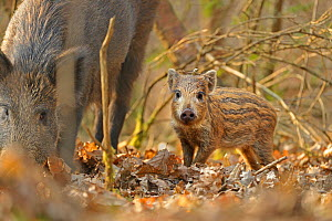 Wild boar (Sus scrofa) piglet and mother in forest, Forest of Dean, Gloucestershire, UK, March - Andy Rouse / 2020VISION