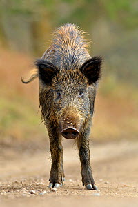 Wild boar (Sus scrofa) female on forest track, Forest of Dean, Gloucestershire, UK, March  -  Andy Rouse / 2020VISION
