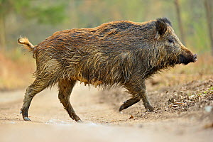 Wild boar (Sus scrofa) female crossing forest track, Forest of Dean, Gloucestershire, UK, March. Did you know? In heraldry the boar is supposed to symbolise courage and a white boar was the badge of K... - Andy Rouse / 2020VISION