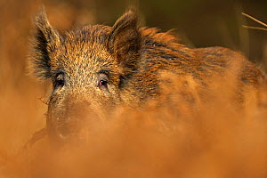 RF- Wild boar (Sus scrofa) female. Forest of Dean, Gloucestershire, UK, March. (This image may be licensed either as rights managed or royalty free.) - Andy  Rouse / 2020VISION