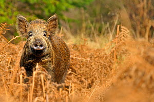 Wild boar (Sus scrofa) female in forest, Forest of Dean, Gloucestershire, UK, March - Andy Rouse / 2020VISION