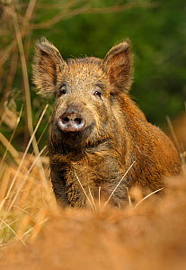 Wild boar (Sus scrofa) female, Forest of Dean, Gloucestershire, UK, March - Andy Rouse / 2020VISION
