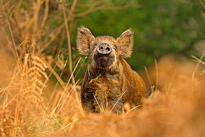 Wild Boar (Sus scrofa) female smelling air for scent of human, Forest of Dean, Gloucestershire, UK, March  -  Andy Rouse / 2020VISION