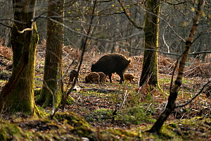 Wild boar (Sus scrofa) female and piglets in forest, Forest of Dean, Gloucestershire, UK, March 2011 - Andy Rouse / 2020VISION