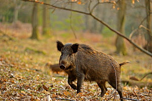 Wild boar (Sus scrofa) female moving through forest, defensive of piglets, Forest of Dean, Gloucestershire, UK, March 2011  -  Andy Rouse / 2020VISION