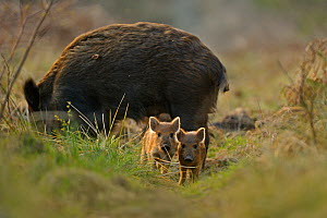 Wild boar (Sus scrofa) female and piglets in forest, Forest of Dean, Gloucestershire, UK, March - Andy Rouse / 2020VISION