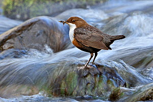 Dipper (Cinclus cinclus) perched on rock in fast flowing river with food for young, Brecon Beacons NP, Wales, UK, May. Did you know? To hold their position and find prey in fast flowing streams, dippe... - Andy Rouse / 2020VISION